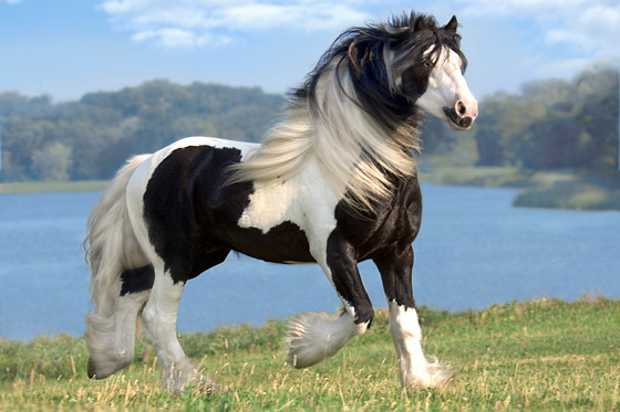 Gypsy Horse Stock Images