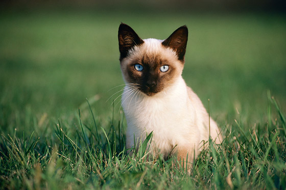 Siamese Kitten Stock Images