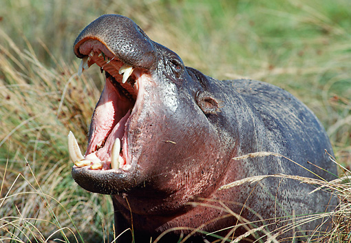 AFW 01 BA0001 01 © Kimball Stock Close-Up Of Pygmy Hippopotamus Yawning In Grassy Field