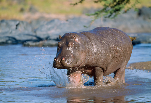 AFW 01 GL0001 01 © Kimball Stock Hippopotamus Walking Through Water