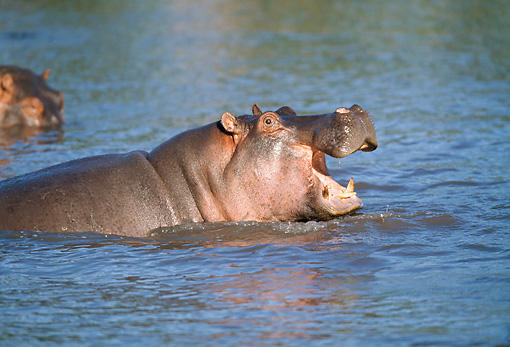 AFW 01 GL0002 01 © Kimball Stock Close-Up Of Hippopotamus Swimming With Mouth Open