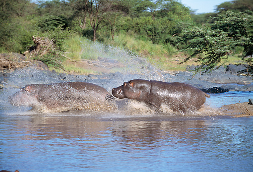AFW 01 GL0003 01 © Kimball Stock Two Hippopotamuses Splashing Through Water Profile