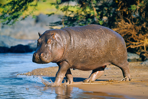 AFW 01 GL0005 01 © Kimball Stock Hippopotamus Walking Into Water Tanzania