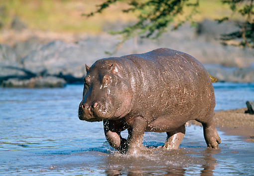 AFW 01 GL0009 01 © Kimball Stock Hippopotamus Walking Through Shallow Water Tanzania