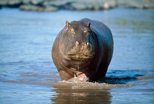 AFW 01 GL0010 01 © Kimball Stock Hippopotamus Walking Through Water Tanzania
