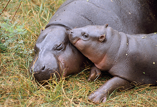 AFW 01 GL0013 01 © Kimball Stock Pygmy Hippopotamus Resting On Grass With Young