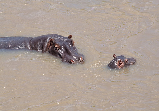 AFW 01 GL0017 01 © Kimball Stock Hippopotamus Mother And Baby Swimming In Kenya