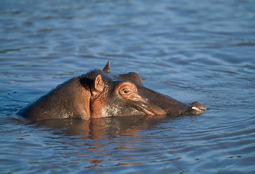 AFW 01 GL0019 01 © Kimball Stock Hippopotamus Swimming With Head Above Water In Tanzania