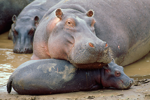 AFW 01 MC0004 01 © Kimball Stock Close-Up Of Hippopotamus With Calf Laying On Mud Kenya