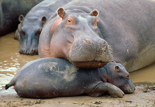AFW 01 MC0005 01 © Kimball Stock Close-Up Of Hippopotamus With Calf Laying On Mud Kenya