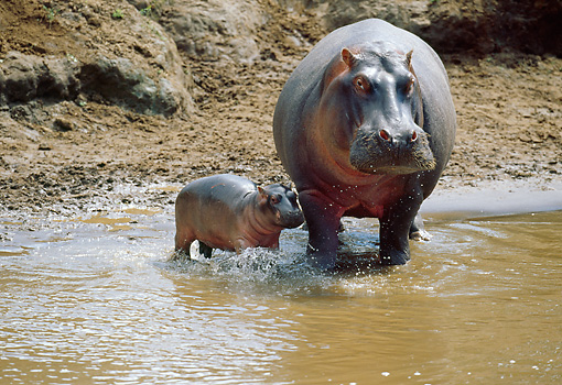 AFW 01 MC0006 01 © Kimball Stock Hippopotamus And Calf Standing In Muddy Water Kenya