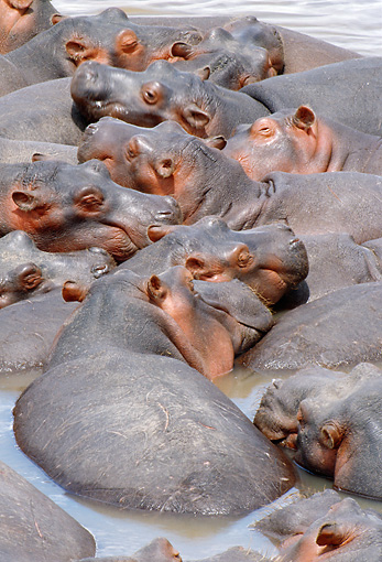 AFW 01 MC0007 01 © Kimball Stock Group Of Hippopotamuses Huddling In Water Kenya
