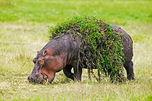 AFW 01 MH0001 01 © Kimball Stock Hippopotamus With Weeds On Back Grazing On Savanna Kenya