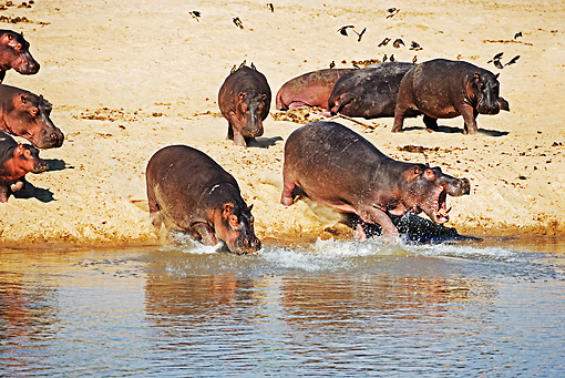 AFW 01 MH0002 01 © Kimball Stock Hippopotamus Herd Walking Into Water Zambia