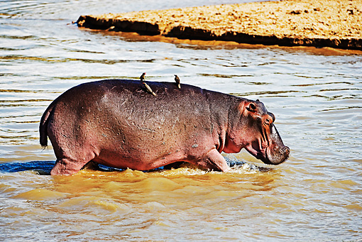 AFW 01 MH0003 01 © Kimball Stock Hippopotamus Walking Into Water Zambia
