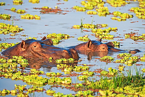 AFW 01 MH0005 01 © Kimball Stock Two Hippopotamuses Peering Above Water Zambia