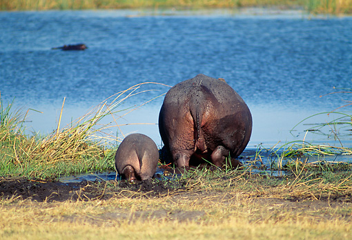 AFW 01 MH0020 01 © Kimball Stock Hippopotamus Mother And Calf Drinking From Watering Hole Back View