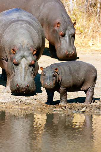 AFW 01 MH0023 01 © Kimball Stock Hippopotamus Family Standing By Edge Of Watering Hole South Africa
