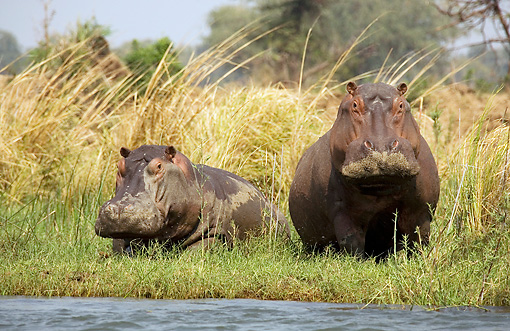 AFW 01 WF0002 01 © Kimball Stock Two Hippopotamus Resting In Grass By Edge Of River