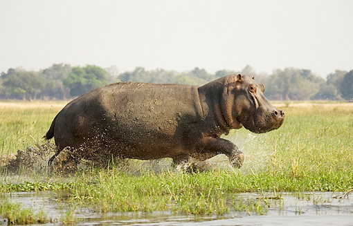 AFW 01 WF0004 01 © Kimball Stock Hippopotamus Bull Running Through Shallow Water Profile