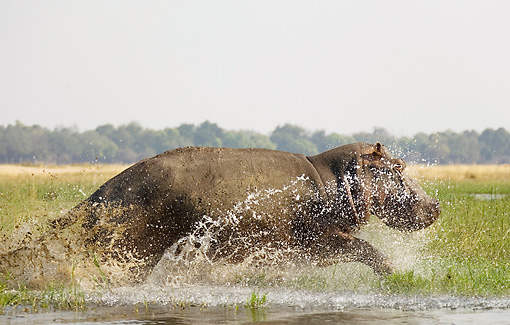 AFW 01 WF0005 01 © Kimball Stock Hippopotamus Bull Running Through Shallow Water Profile