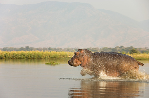 AFW 01 WF0006 01 © Kimball Stock Hippopotamus Bull Running Through Shallow Water Profile
