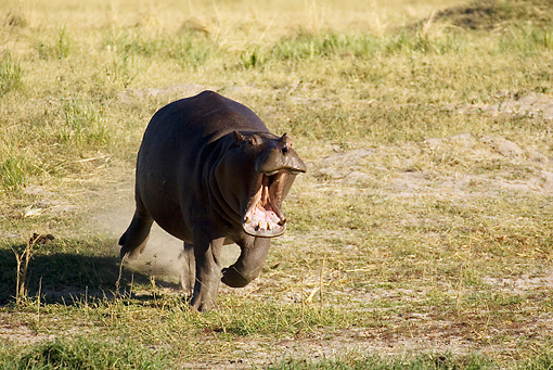 AFW 01 WF0008 01 © Kimball Stock Hippopotamus Running On Grass With Mouth Open