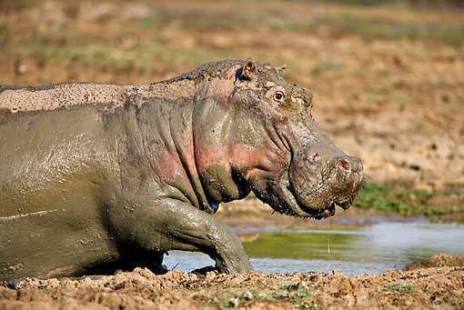 AFW 01 WF0009 01 © Kimball Stock Close-Up Of Hippopotamus Walking Through Muddy Water