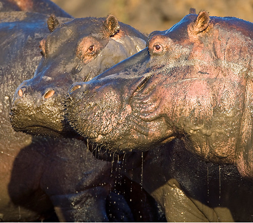 AFW 01 WF0013 01 © Kimball Stock Close-Up Of Two Hippopotamus Leaving Muddy Water
