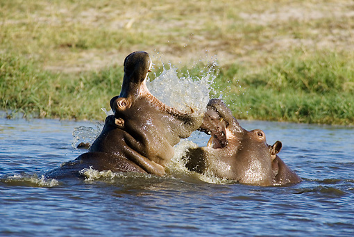 AFW 01 WF0019 01 © Kimball Stock Two Hippopotamus Fighting In River
