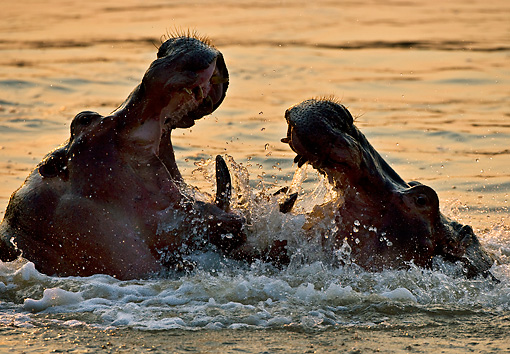 AFW 01 WF0021 01 © Kimball Stock Close-Up Of Two Hippopotamus Fighting In River At Dusk