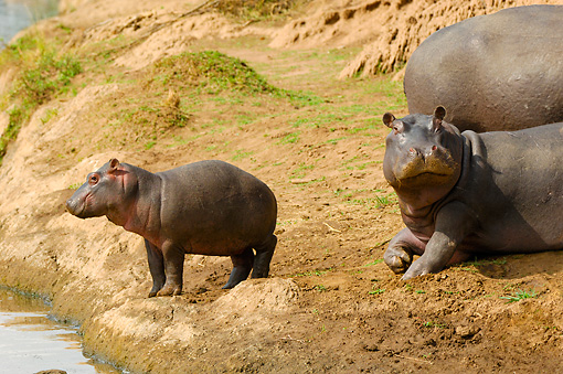 AFW 01 NE0001 01 © Kimball Stock Hippopotamus Calf Standing At Edge Of Water By Resting Adults Kenya