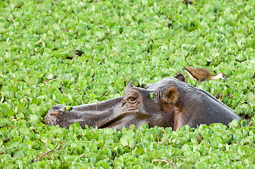 AFW 01 NE0006 01 © Kimball Stock Hippopotamus Peering Above Water With Bird On Head Covered In Plants Kenya