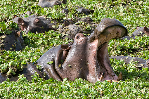AFW 01 NE0007 01 © Kimball Stock Hippopotamus Yawning Above Water Covered In Plants Other Hippos In Background Kenya