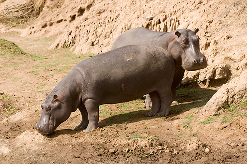 AFW 01 NE0009 01 © Kimball Stock Two Hippopotamus Standing At Edge Of Watering Hole Kenya