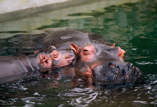 AFW 01 RK0021 17 © Kimball Stock Mother And Baby Hippo Together In Water