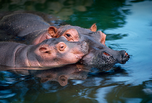 AFW 01 RK0021 24 © Kimball Stock Mother And Baby Hippo Together In Water