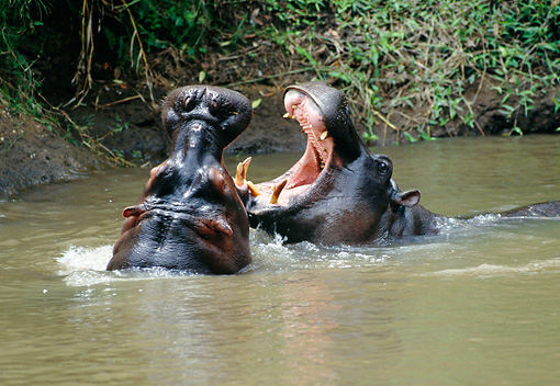AFW 01 RW0001 01 © Kimball Stock Two Hippopotamuses Sparring In Water Kenya