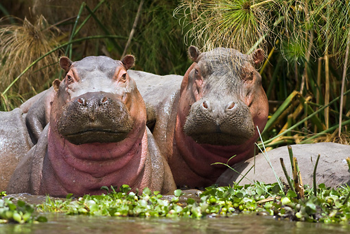 AFW 01 RW0002 01 © Kimball Stock Two Hippopotamuses Standing In Water Facing Camera Kenya