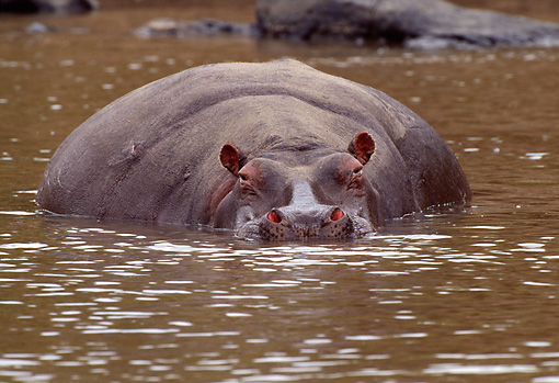 AFW 01 TL0011 01 © Kimball Stock Hippopotamus Facing Camera Resting In Water