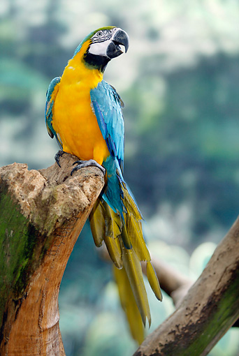 BRD 01 AC0014 01 © Kimball Stock Blue-And-Yellow Macaw Perched On Stump