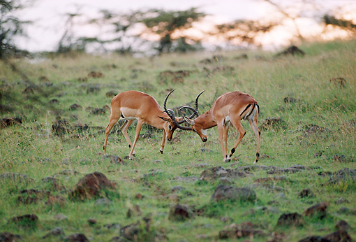 AFW 02 BA0003 01 © Kimball Stock Two Male Impala Standing On Savanna Fighting At Dusk