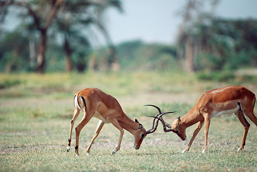 AFW 02 BA0004 01 © Kimball Stock Two Male Impala Standing On Savanna Fighting