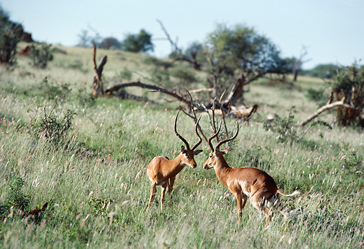 AFW 02 BA0005 01 © Kimball Stock Two Male Impala Standing On Savanna Face To Face