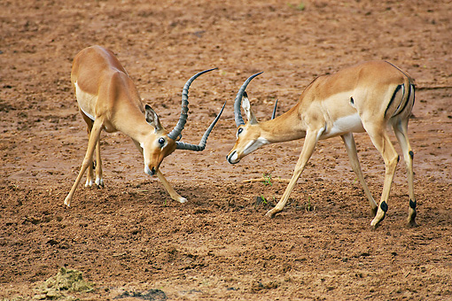 AFW 02 GL0001 01 © Kimball Stock Two Impala Males Fighting In Dirt Kenya
