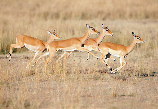 AFW 02 GL0002 01 © Kimball Stock Impala Does Running Through Grassland Kenya