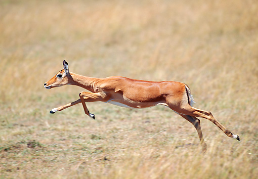 AFW 02 GL0003 01 © Kimball Stock Impala Doe Running Through Grassland Kenya