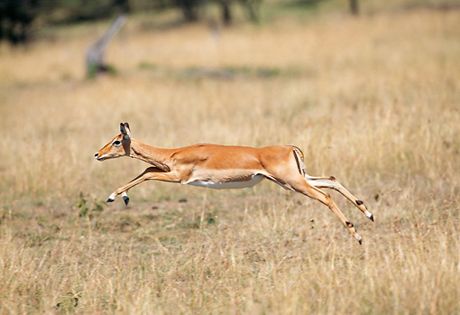 AFW 02 GL0004 01 © Kimball Stock Impala Doe Running Through Grassland Kenya