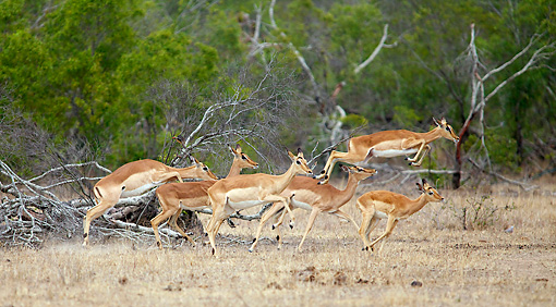 AFW 02 HP0002 01 © Kimball Stock Herd Of Impalas Running Through Savanna Kruger National Park, South Africa