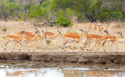 AFW 02 HP0004 01 © Kimball Stock Herd Of Impalas Grazing Near Watering Hole Kruger National Park, South Africa